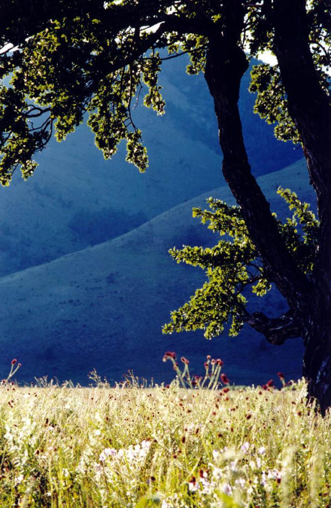 Травы и деревья Байкала свет солнца хранят. На снимке: тополь душистый ( Populus suaveolens Fischer) в степи на мысе Хыр-Хушуун (Рытый).