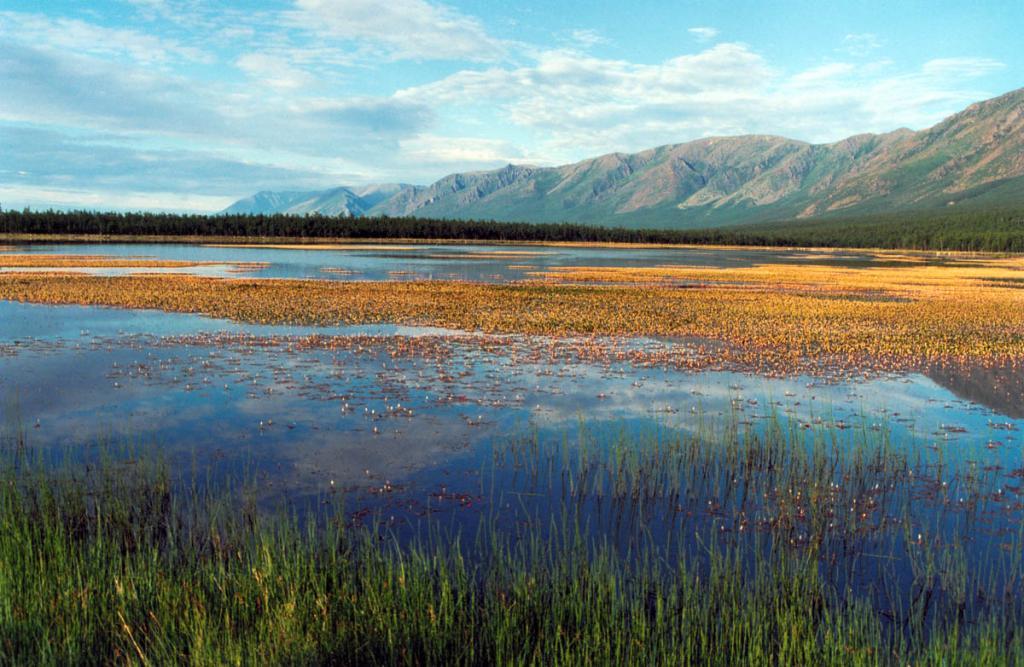 Лагунное озеро на мысе Большой Солонцовый покрывают густые заросли горца земноводного (Persicaria ampphibia (L.) S.F.Gray).