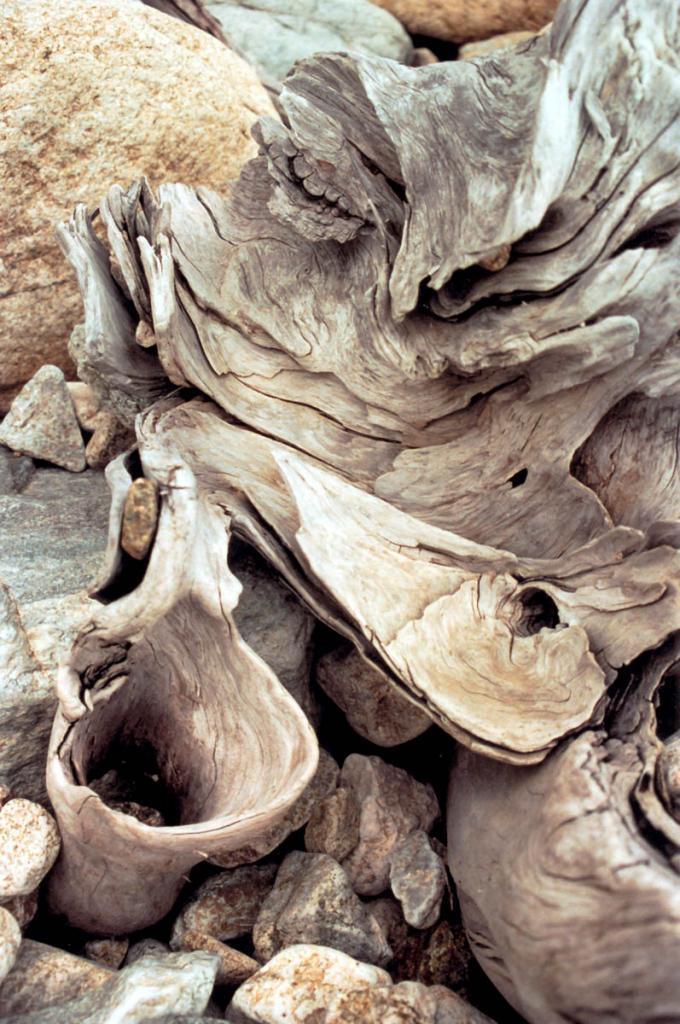Отшлифованные прибоем корни старой лиственницы на берегу Байкала.