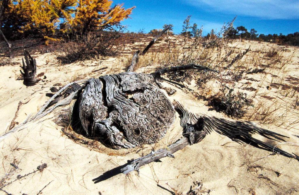 В урочище Песчанка (остров Ольхон) на склоне дюны ветра обнажают искривленные стволы старых лиственниц, засыпанных песком столетие назад.