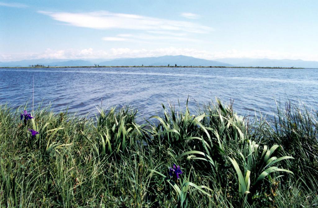 Заросли ириса сглаженного ( Iris laevigata Fischer et Meyer) на берегу протоки, соединяющей озеро Арангатуй с Чивыркуйским заливом.