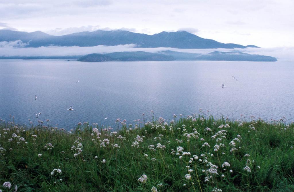 Отличительной особенностью больших островов Чивыркуйского залива является пышная растительность. На снимке: заросли валерианы заенисейской ( Valeriana transjenissensis Kreyer) на вершине острова Голый Колтыгей.