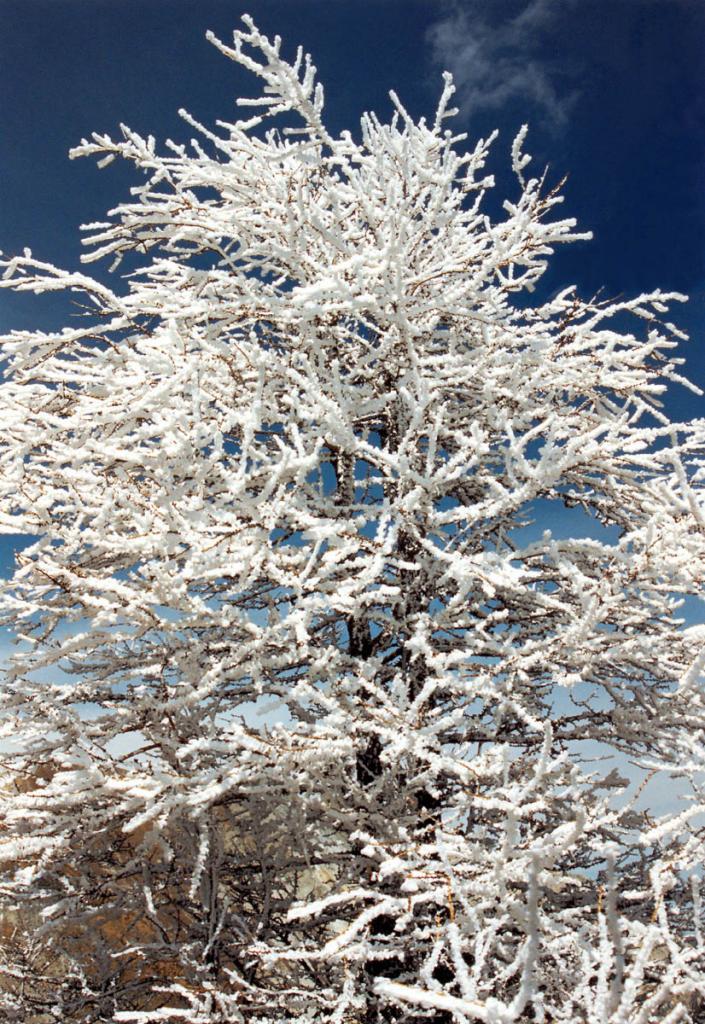 Морозный туман в горах украсил лиственницу кристаллами инея.