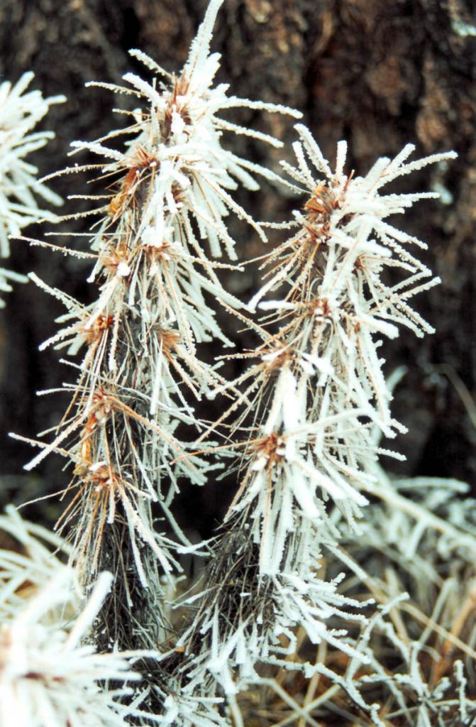 Карагана гривастая (Caragana jubata (Pallas) Poiret) привыкла к контрастам высокогорного климата Саян. Даже летом в горах Прибайкалья случаются снежные бураны и снегопады.