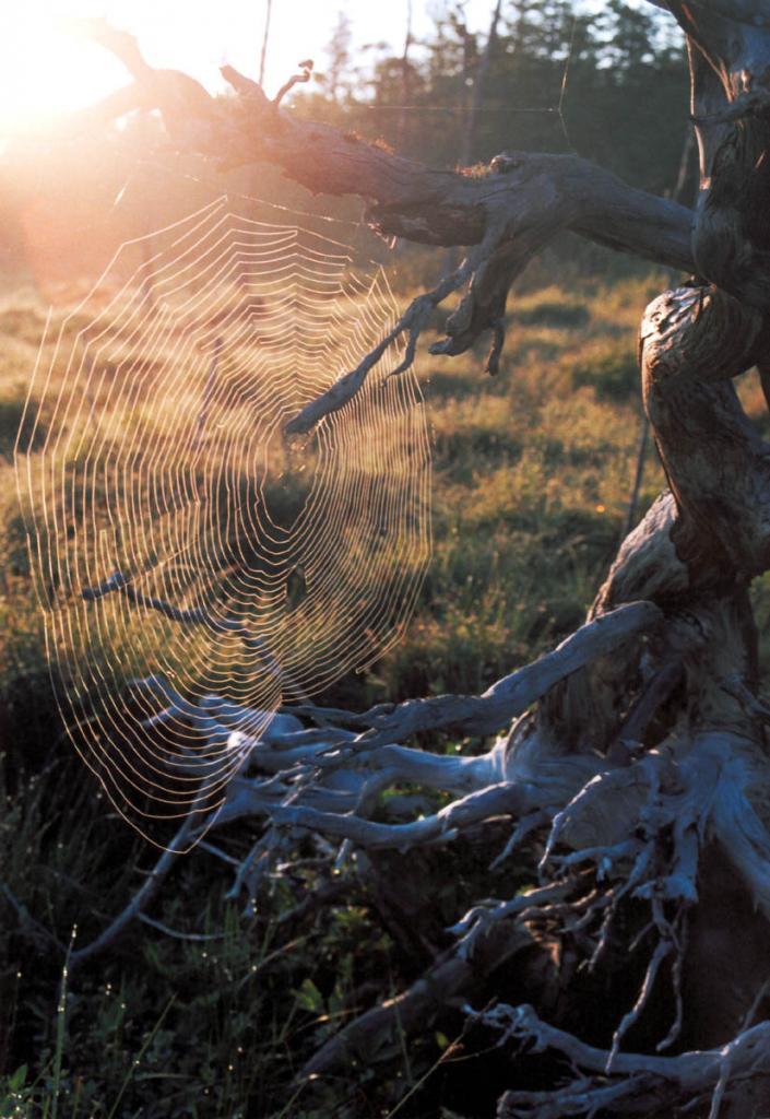 Ловчая сеть паука на рассвете превращается в удивительное создание, блестающее тысячами росинок.