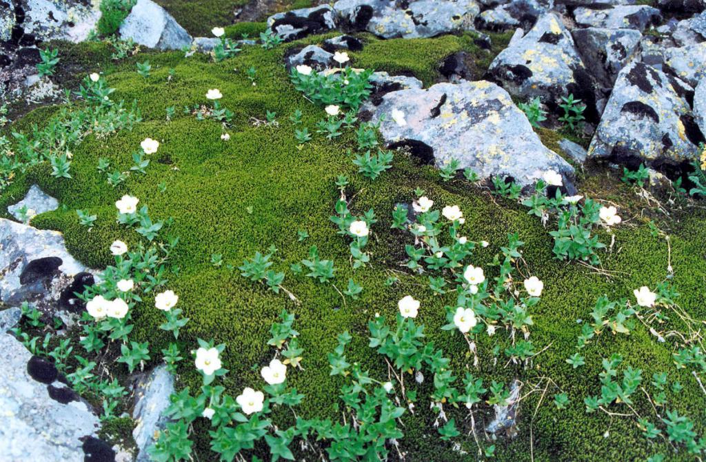 Ясколка воробейниколистная (Cerastium lithospermifolium Fischer) на моховой подушке в гольцовом поясе Байкальского хребта.