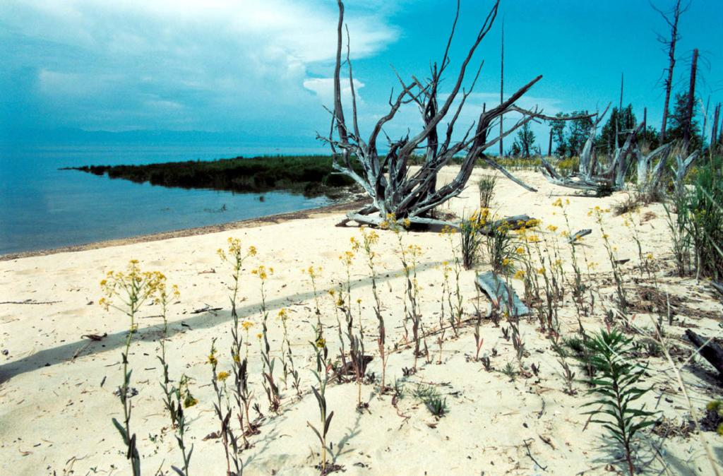 Песчаный берег на мысе Орловый. Северное побережье полуострова Святой Нос. На переднем плане заросли вайды продолговатой ( Isatis oblongata DC.).