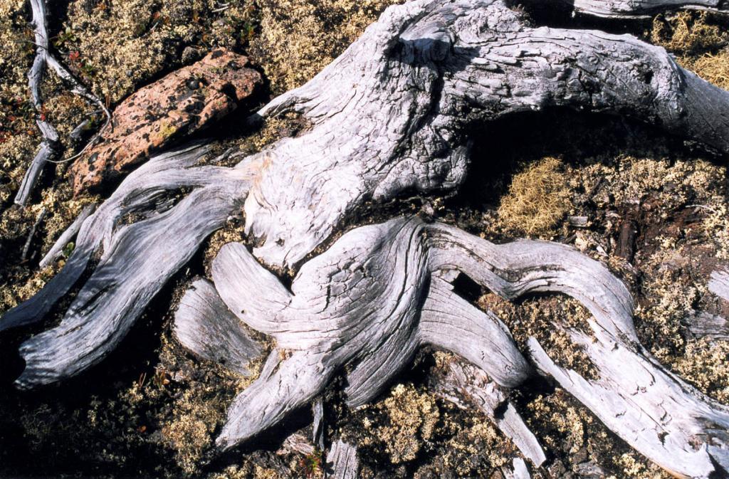 В суровых условиях гор Байкала кедровый стланик с трудом укореняется в каменистой почве лишайниковой тундры.