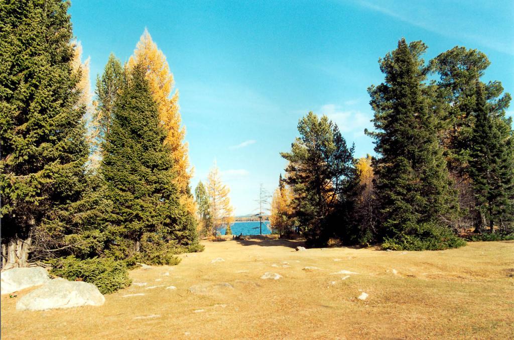 У многих деревьев, растущих на северо-восточном берегу Байкала, нижний край кроны начинается у самых корней. На снимке: ели, лиственницы и кедры на берегу губы Крестовая.