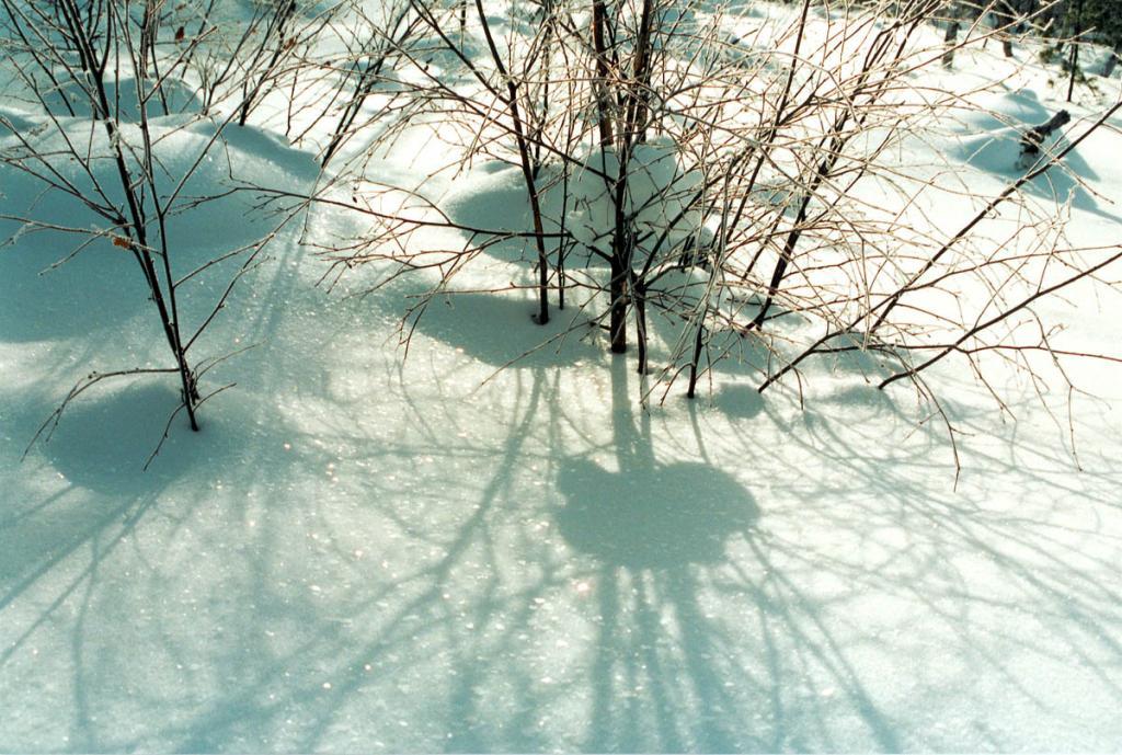 Свето-тень у кустарниковой березки в зимнем лесу.