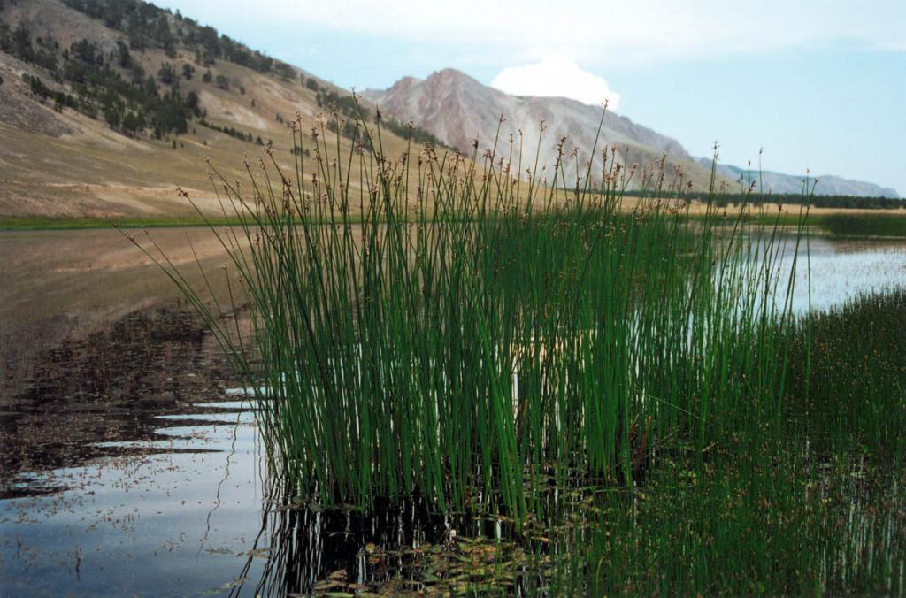 Заросли камыша сильного (Scirpus validus Vahl) на лагунном озере мыса Зундук. Малое море.