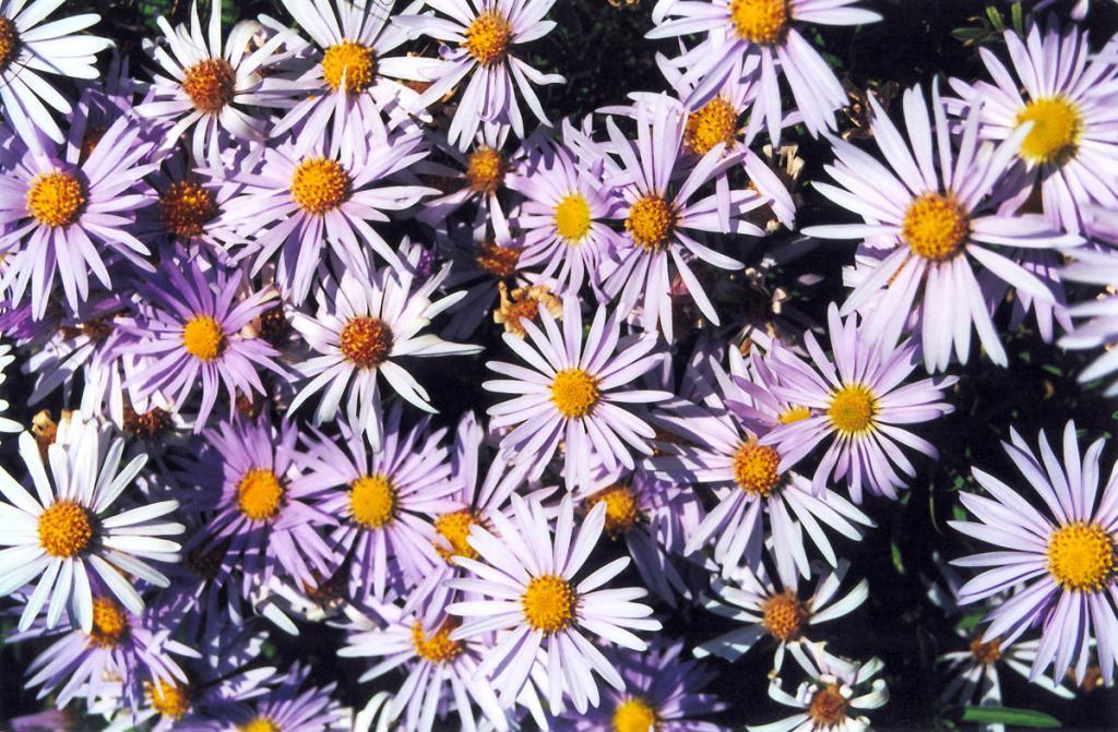 Цветы гетеропаппуса двулетнего (Heteropappus biennis (Ledeb.) в разнотравной степи на мысе Шартлай.