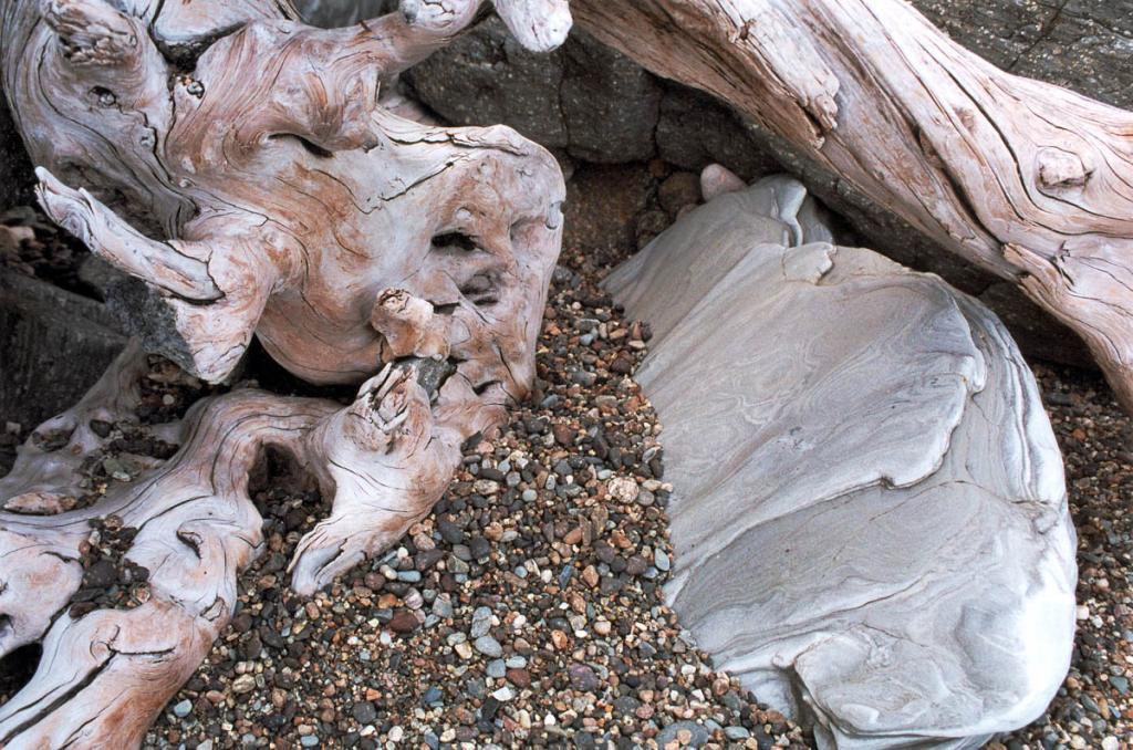 Корни старой упавшей лиственницы, отшлифованные на берегу байкальским прибоем.