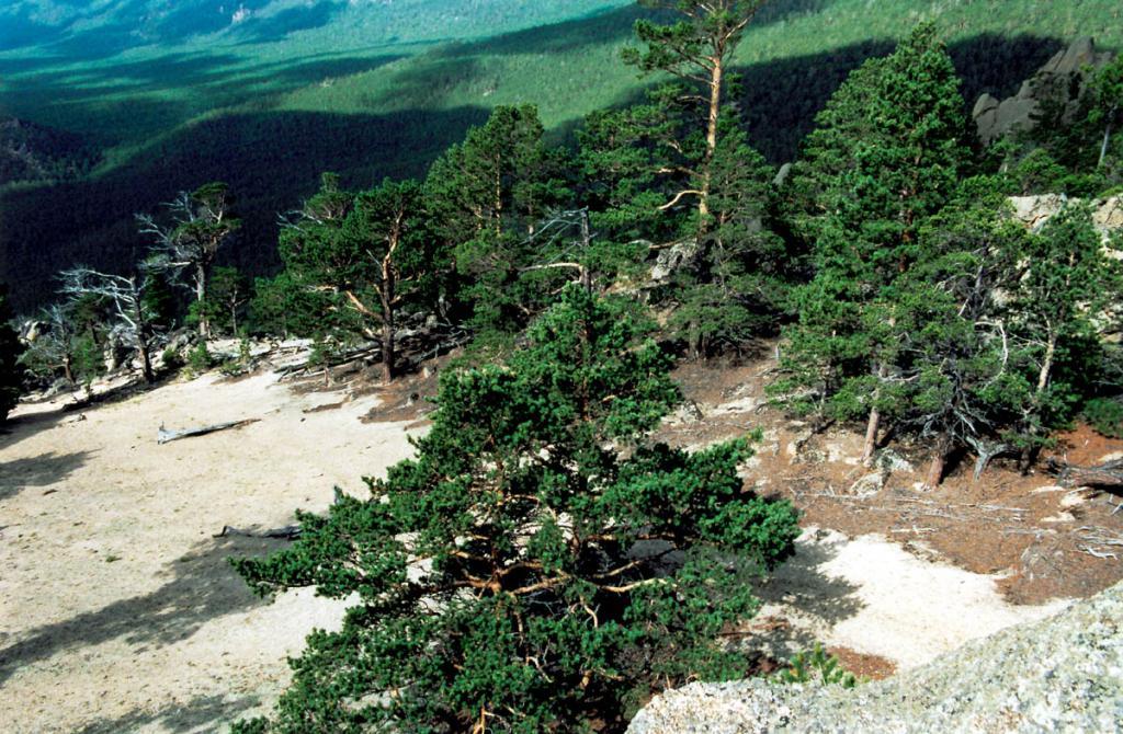 На склонах вблизи бухты Песчаная широко распространены сосновые и лиственнично-сосновые леса. Здесь они не избегают даже охлажденной Байкалом береговой полосы. На сухих взлобках и у подножия столбовидных скал часто встречаются парковые сосняки (на снимке) с характерной для открытых мест формой кроны.