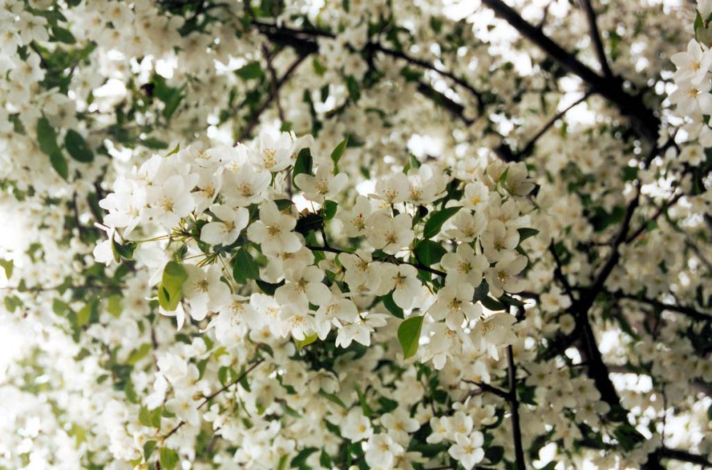 Цветет яблоня (Malus baccata (L.) Borkh).
