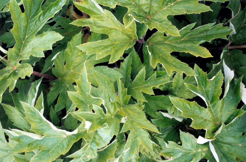 Листья борщевика рассеченнолистного (Heracleum dissectum Ledeb.).