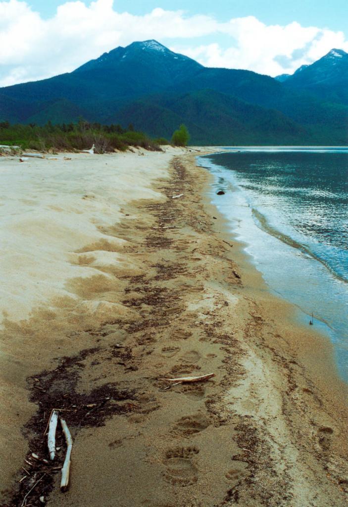 На берегах Северного Байкала следов зверей больше, чем человеческих. На снимке: следы бурого медведя на песчаном берегу бухты Сосновка.