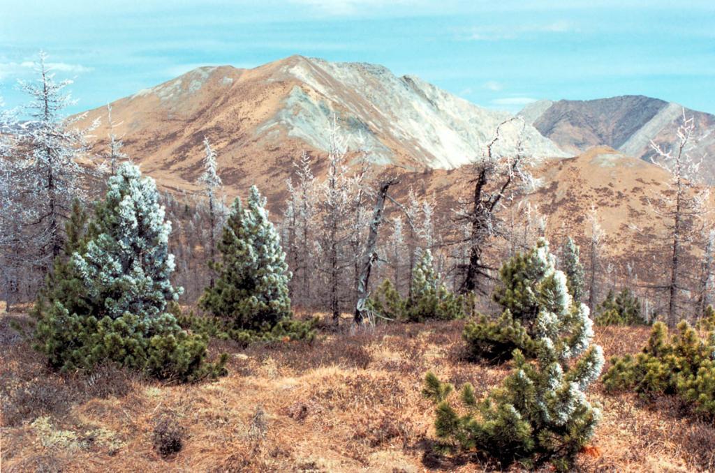 В горах после утреннего тумана на деревьях остается толстый слой кристаллического инея (снимок сделан в середине мая).
