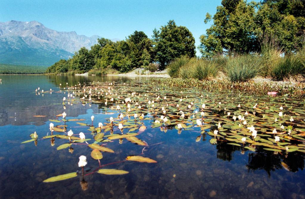 Одним из самых ярких водных растений лагунных озер северного Байкала является горец земноводный (Persikaria amphibia (L.) S.F. Gray. На снимке: заросли горца в озере на мысе Малый Солонцовый.