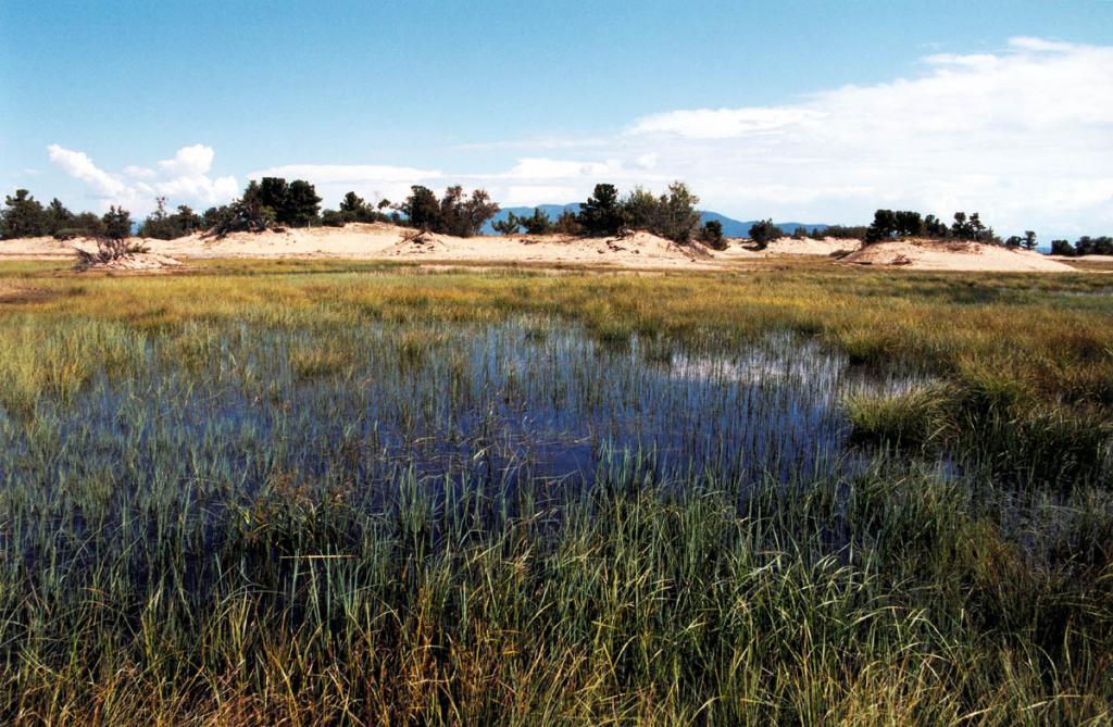 Понижения между песчаными буграми на баргузинском перешейке поросли водной и влаголюбивой растительностью.