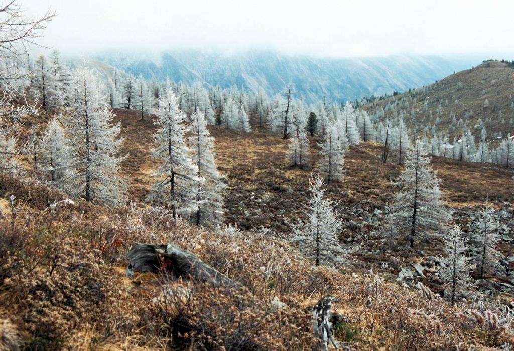 Верхний предел древесной растительности на хребте Мунку-Сардык образует лиственница Гмелина. Из кустарников подгольцового пояса самым распространенным видом является карагана гривастая (Caragana jubata (Pallas) Poiret).