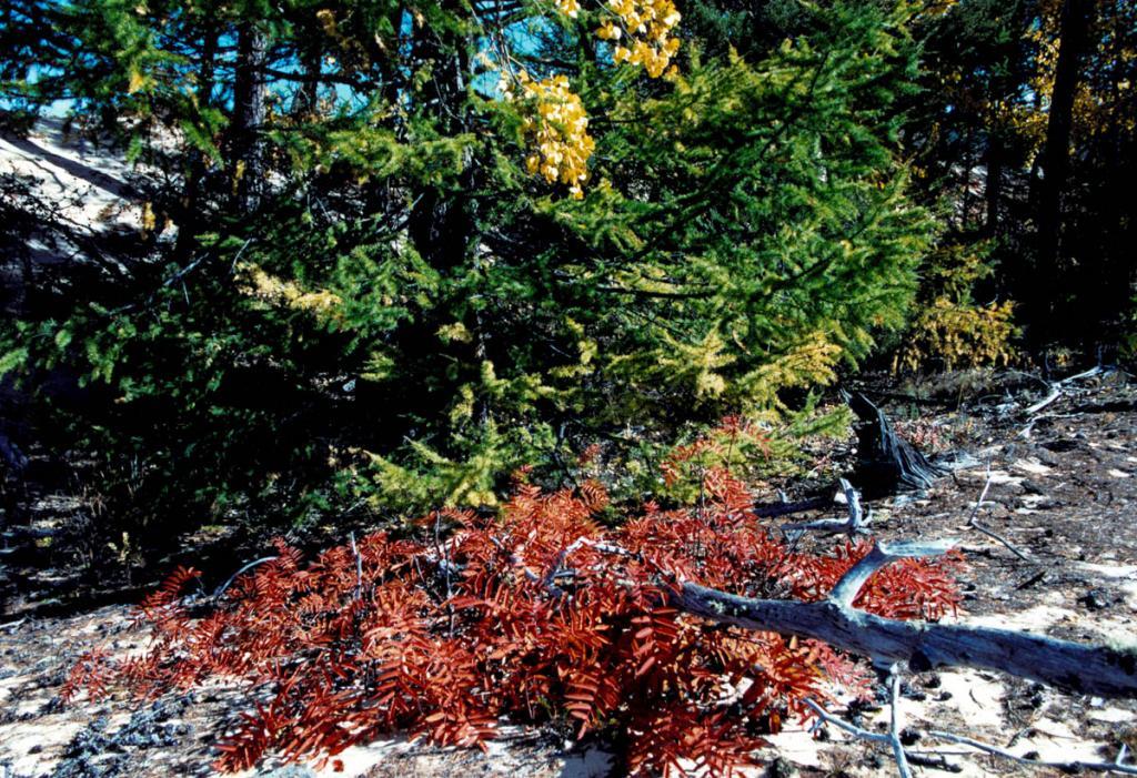 """Осень на берегах Байкала - великая художница! Имея листья рябины, нежную ветку осины и желтеющую крону """"кустарниковой"""" лиственницы, она создает из них на песчаной дюне Ольхона вечно повторяющуюся в природе, прощальную картину."""