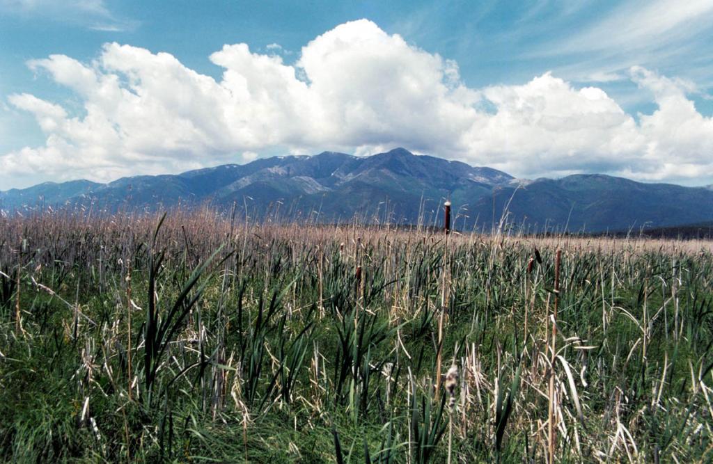 Заросли рогоза широколистного (Typha latifolia L.) на берегу озера Арангатуй.