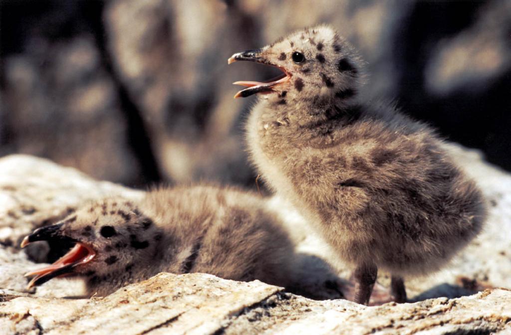 Птенцы серебристой чайки на камнях острова Голый Колтыгей.