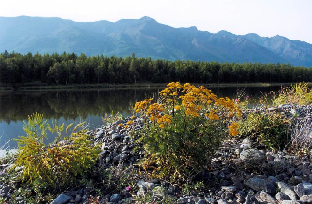 На галечниковой косе, отделяющей лагунное озеро на мысе Малый Солонцовый от Байкала, встречаются высокие кусты пижмы (Tanacetum vulgare L.) и вайды продолговатой.