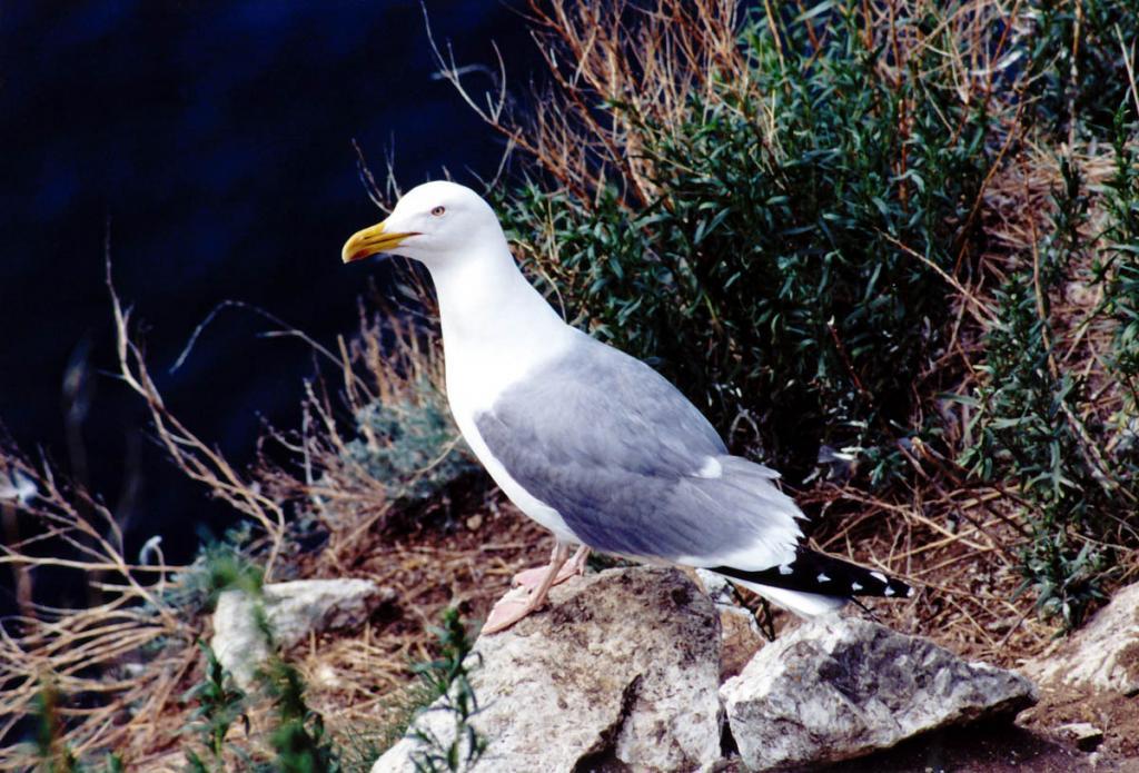 Серебристая чайка (Larus cachinnans Pall.) на склоне острова Голый Колтыгей.