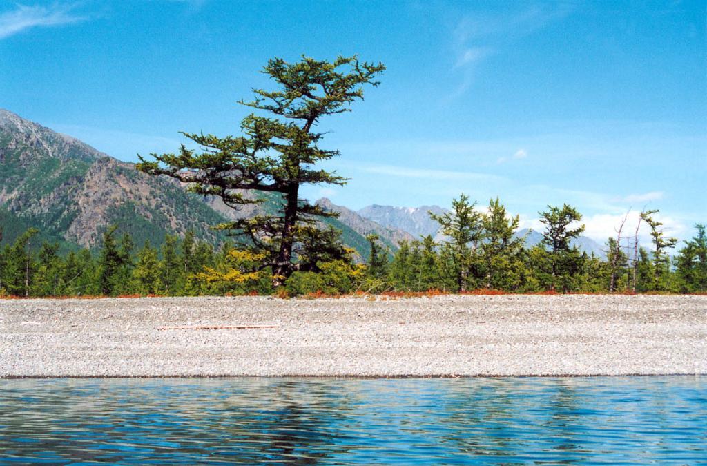 На галечниковых берегах северного Байкала сохранилось много старых деревьев, возраст которых превышает 300 лет. На снимке: лиственница сибирская с ветровой формой кроны на мысе Большой Солонцовый (южная коса).