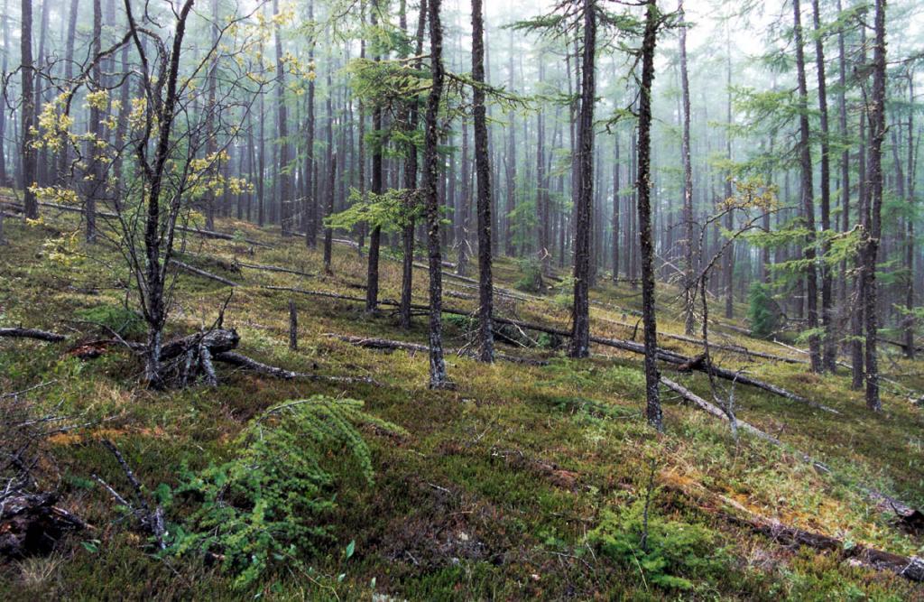 На Малых Ушканьих островах растет редкий и низкорослый лиственничный лес (эти островки столь невелики, что сплошь подвергаются летом охлаждающему влиянию байкальской воды). На снимке: лиственничник шикшиевый на острове Долгий.