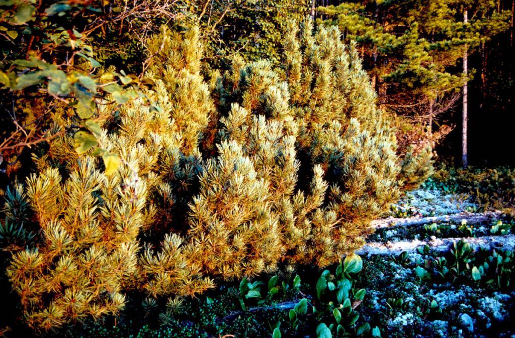 В условиях влажного холодного климата северного Байкала кедровый стланик спускается на побережье, где прекрасно себя чувствует,образуя как самостоятельные сообщества, так и, входя в состав кустарникового подлеска. Снимок сделан на западном берегу полуострова Святой Нос.