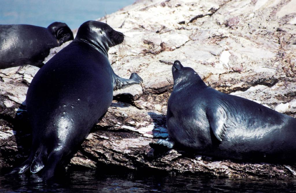 Байкальская нерпа - единственный в мире тюлень, живущий в пресной воде и первая загадка Байкала. На снимке: за место на лежбище нужно бороться, любая попытка устроиться поближе к уже забравшемуся на камень сородичу встречается угрозами в виде шлепков ластами и легкими покусываниями.