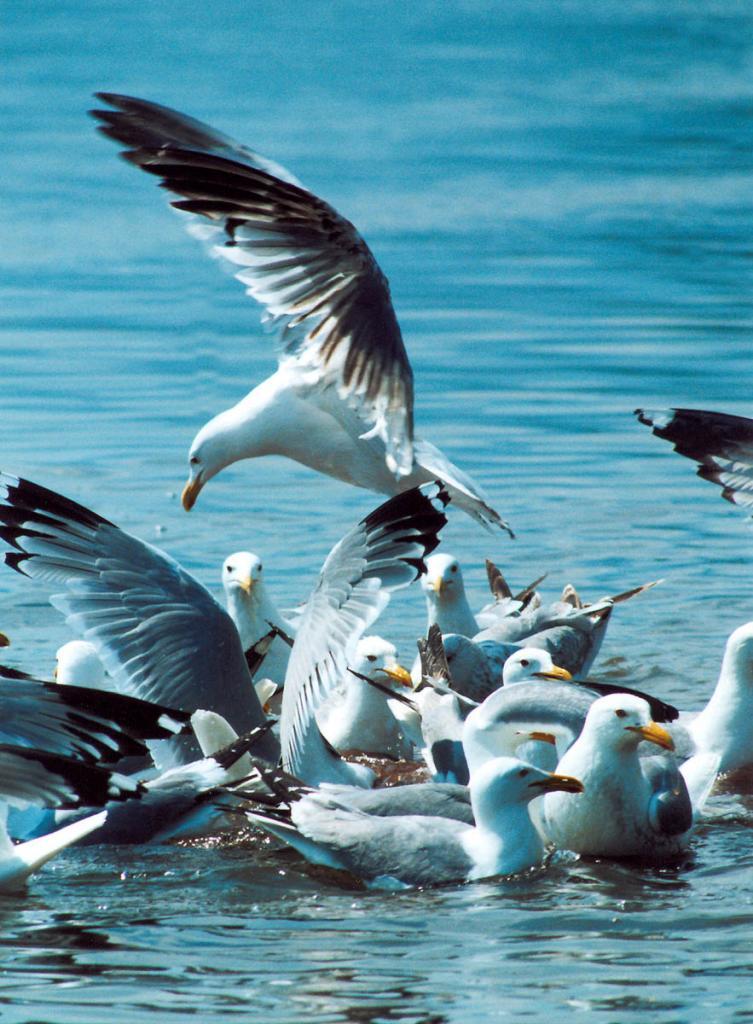 В Чивыркуйском заливе находятся крупные колонии серебристых чаек. На снимке: выброшенные в воду остатки рыбного улова мгновенно уничтожаются этими прожорливыми птицами.