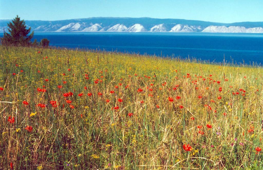 На солнечных склонах Ольхонского мыса Саса божественный аромат карликовых лилий (Lilium pumilum Delile) сливается с голубыми далями Малого моря.