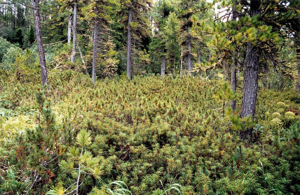 """Хвойные """"джунгли"""" сплошным кольцом опоясывают полуостров Святой Нос. На западном берегу полуострова подлесок чаше образует кедровый стланик, иногда делая леса непроходимыми."""