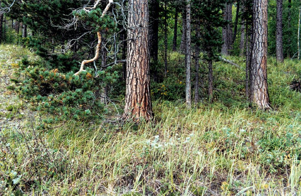 На Большом Ушканьем острове растет хорошо сохранившийся лес из лиственниц и сосен.