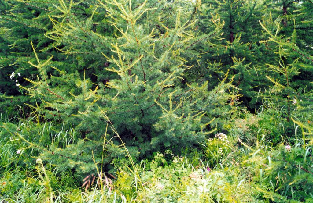 Лиственницы на островах Чивыркуйского залива под действием влажного холодного климата Байкала приобрели удивительно мягкую, пушистую, длинную хвою. Снимок сделан на острове Голый Колтыгей.