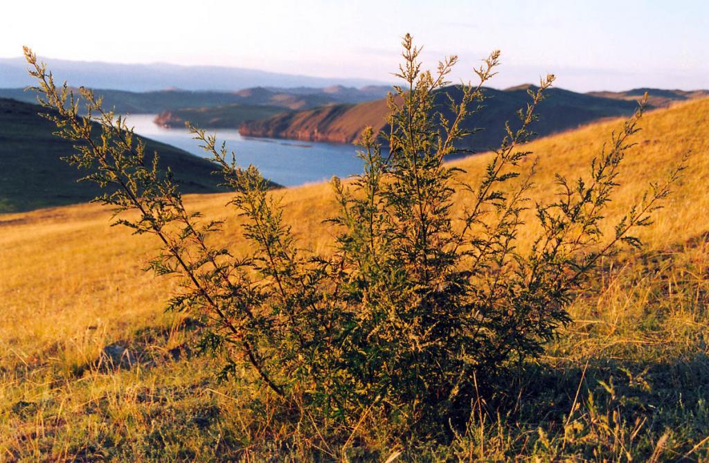 Куст крапивы (Urtica cannabina L.) на склоне горы Крест. Виден пролив Ольхонские Ворота.