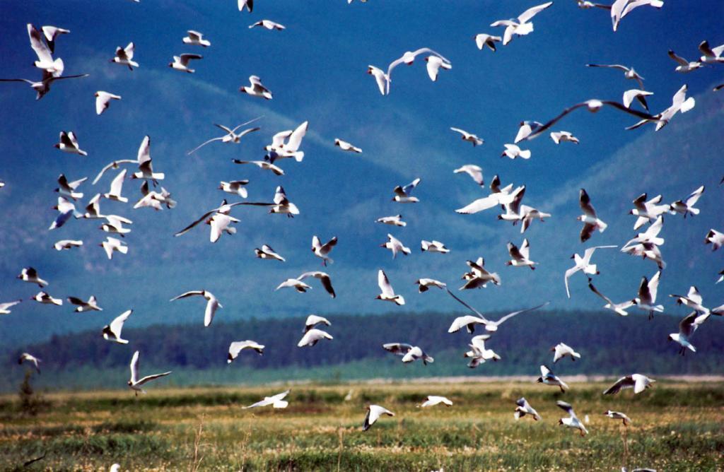 Чайки (несколько видов) являются самой многочисленной группой птиц на перешейке полуострова Святой Нос.