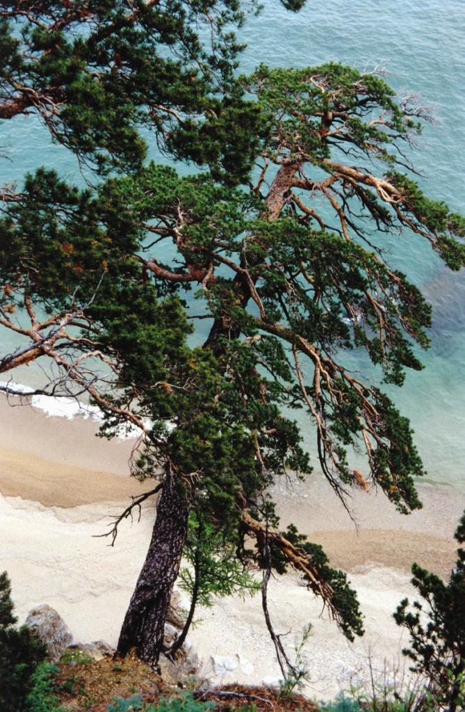 Сосна лесная (Pinus silvestris L.) над байкальским берегом: жизнь ее исполнена спокойствия и неразгаданного смысла.