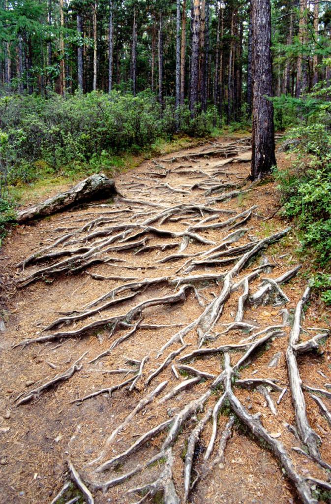 Обнаженные корни сосен на тропе, ведущей из бухты Песчаной в бухту Бабушка.