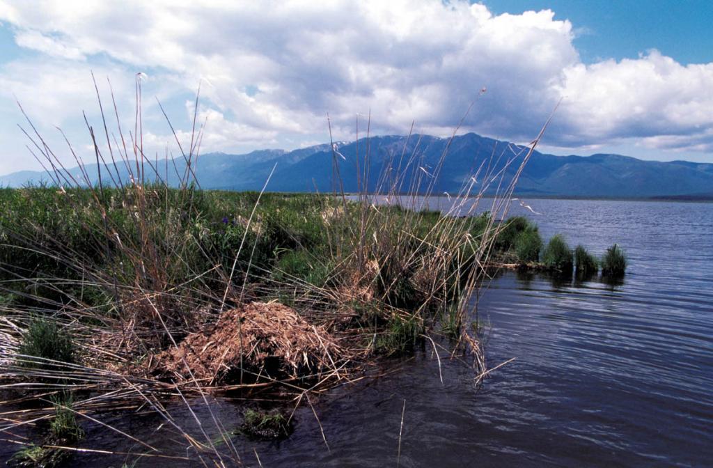 """На заболоченных берегах озера Арангатуй находится крупная колония водяной крысы - ондатры. Ее """"домики-хатки"""" метровой высоты можно встретить у самого уреза воды по всему периметру озера. В жизни ондатры на озере наблюдаются резкие всплески и падения численности. В отдельные годы этот симпатичный зверек может исчезнуть почти полностью, а затем снова появиться на прежних местах. ЗГНП."""
