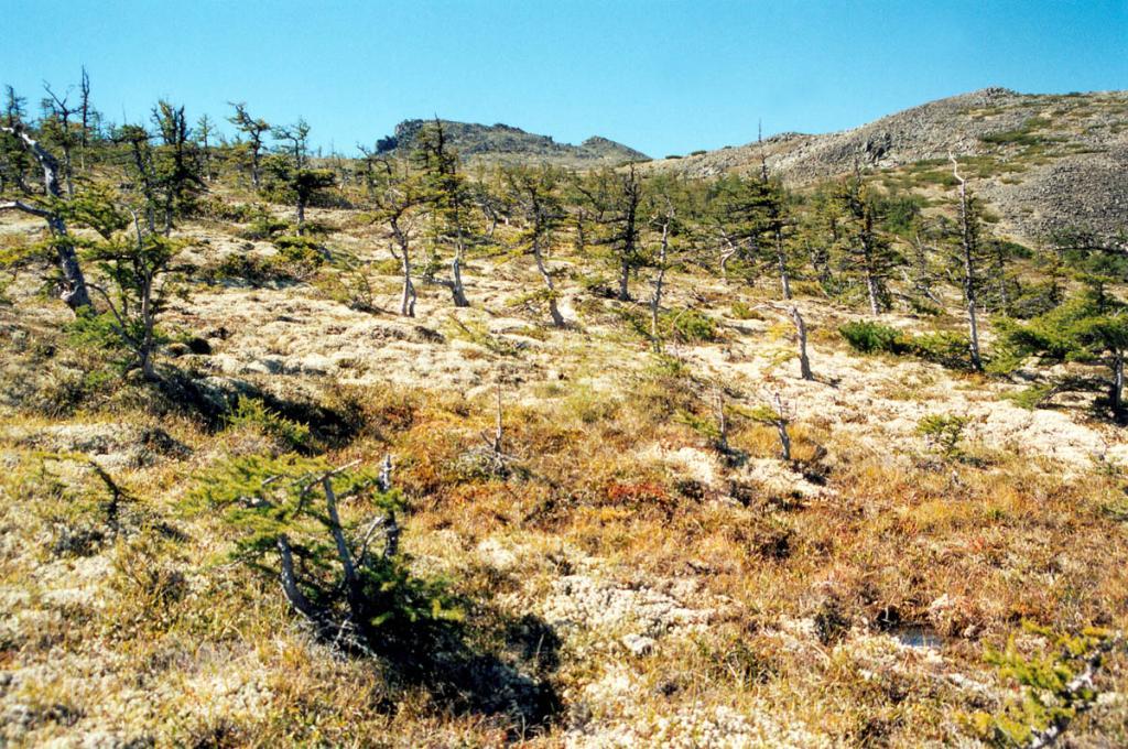 Этот низкорослый лиственничник на Шартлинском Плато растет на высоте 1300 метров над уровнем Байкала - последнем высотном пределе распространения древесных растений в северном Прибайкалье.
