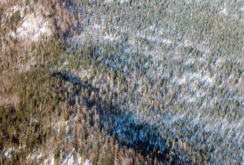 Зимний сосново-лиственничный лес с высоты птичьего полета.
