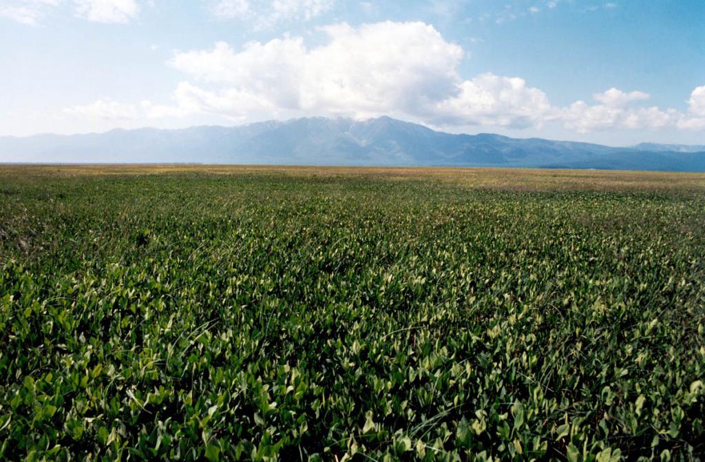 Вахтовое (Menyanthes trifoliata L.) болото на чивыркуйской стороне святоносского перешейка (западный берег озера Арангатуй).