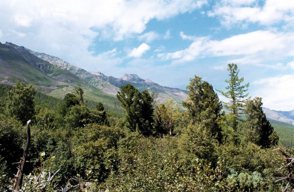 Старые кедры на склоне горы между мысами Средний и Северный Кедровые.