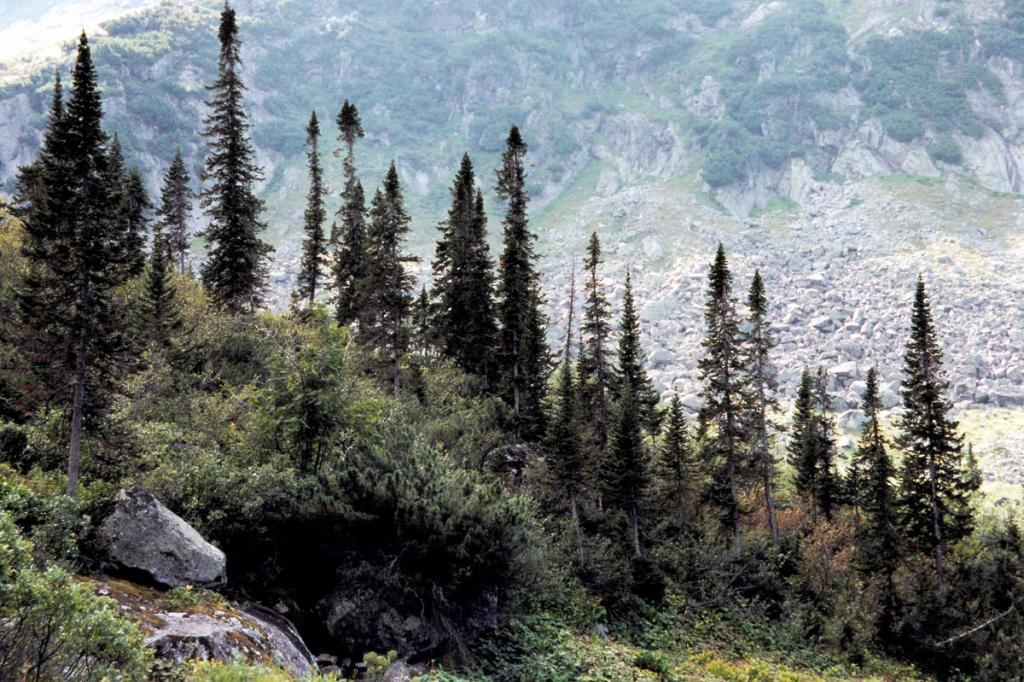 Ели у верхней границы леса на Баргузинском хребте (речка Шумилиха).