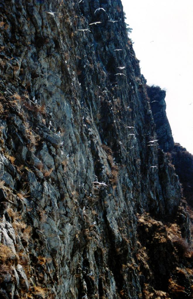 Единственное на Южном Байкале место гнездования озерной чайки находится на отвесной 100-метровой скале (133 километр КБЖД).